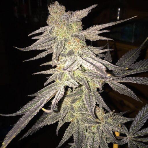 Blueberry Bud