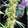 La Nina Regular Seeds - 18