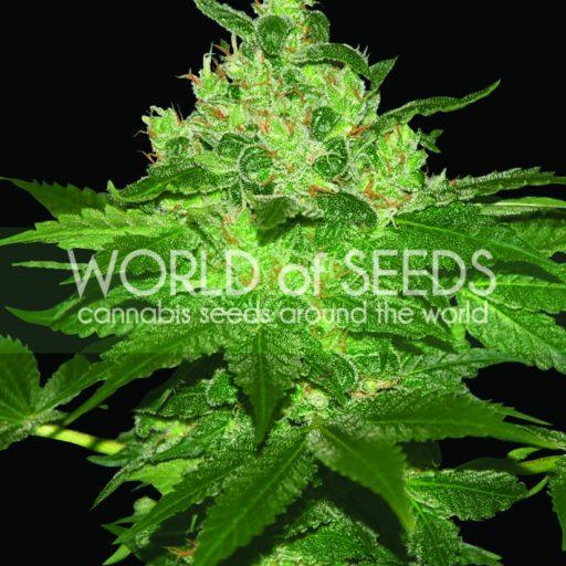 Afghan Kush Feminised Seeds
