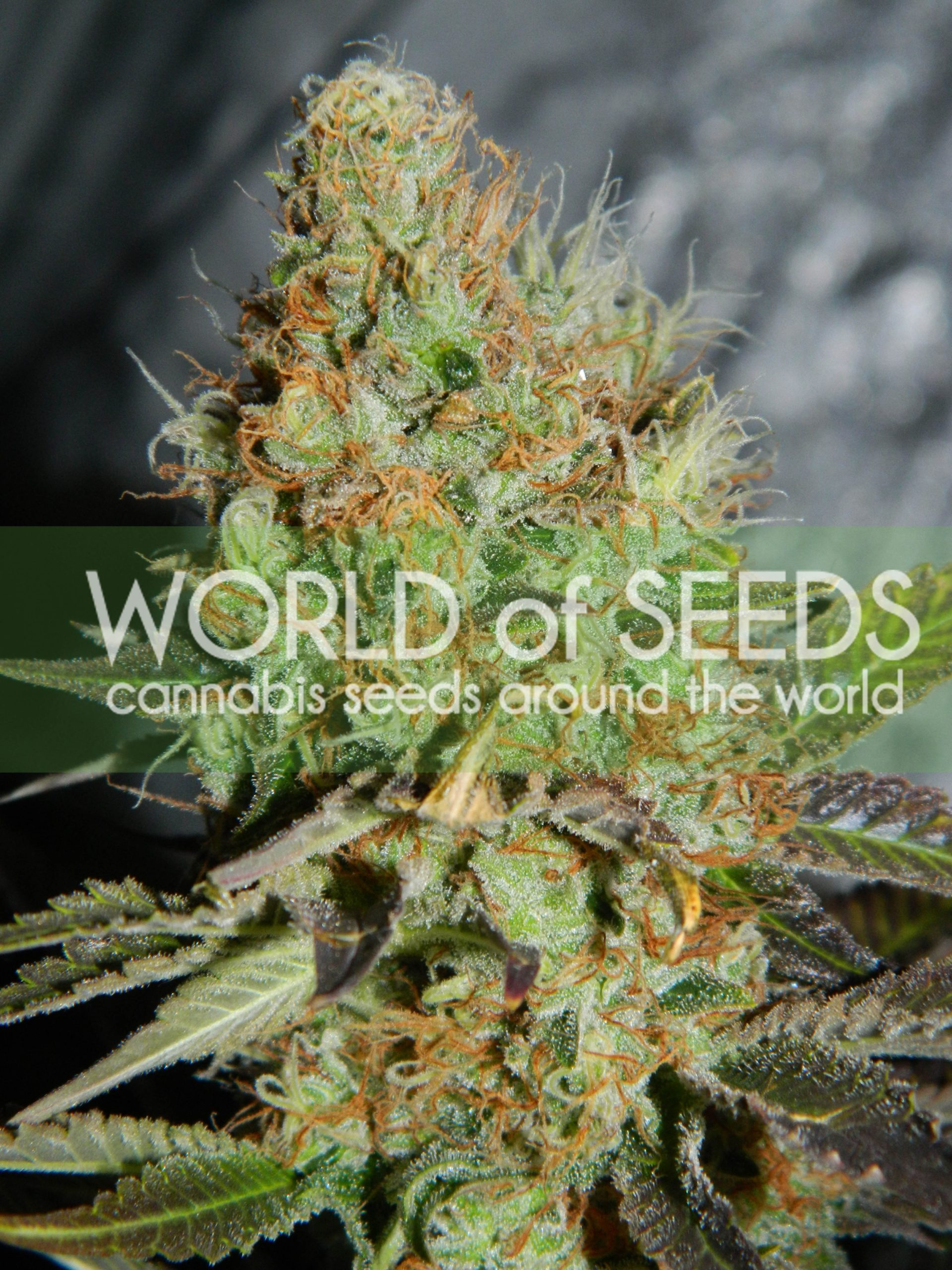 Afghan Kush Special Feminised Seeds
