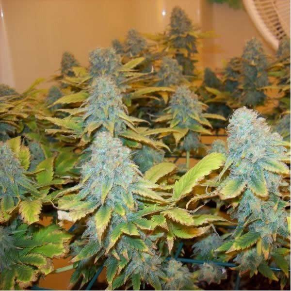 aurora-indica-feminized-5-seeds-2