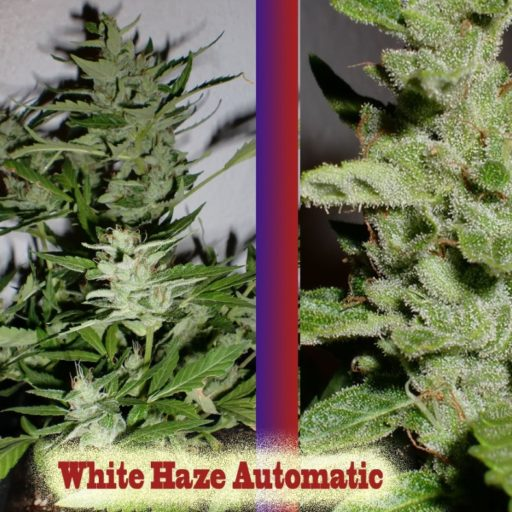 auto-white-haze-2
