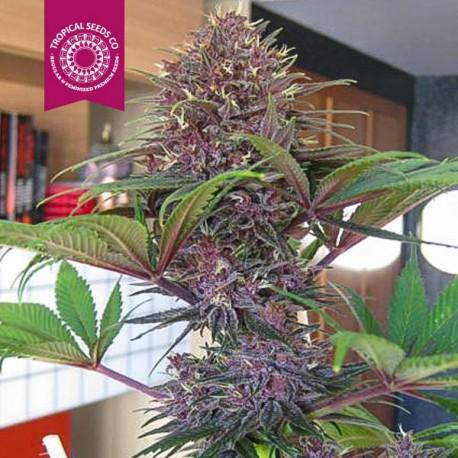 bisho-purple-2
