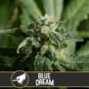 Blue Dream Feminizovaná