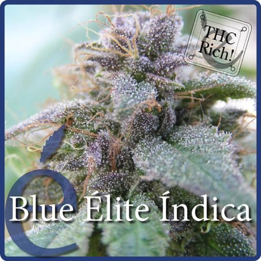 blue-elite-indica-2