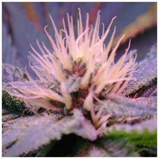 blue-mystic-feminized-5-seeds
