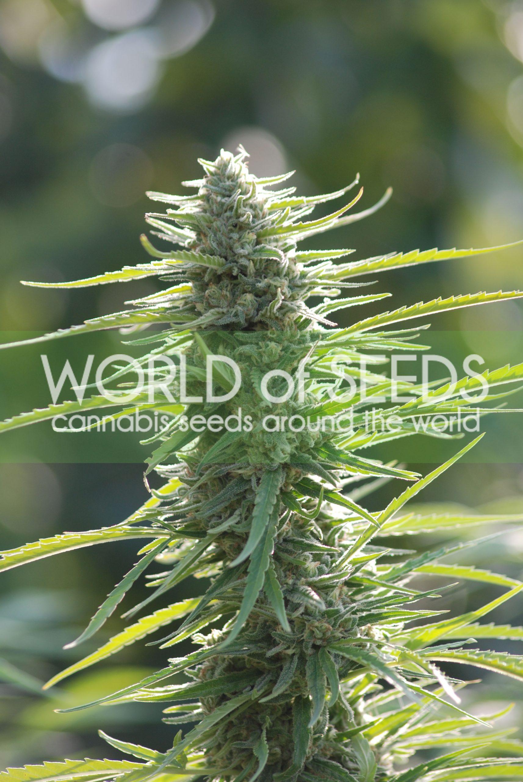Colombian Gold Regular Seeds
