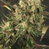Exotic Colours Feminised Seeds