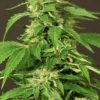 Exotic Thai Feminised Seeds