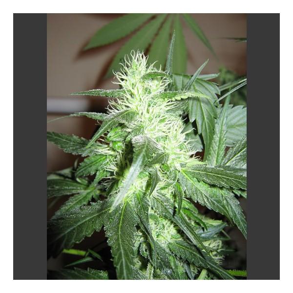 ice-feminized-5-seeds-2
