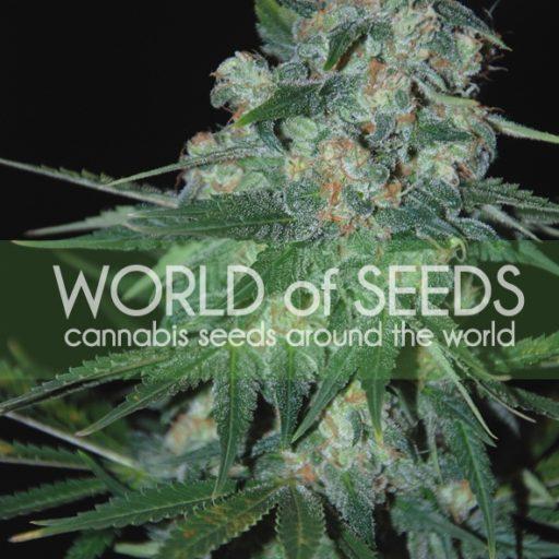 Ketama Feminised Seeds