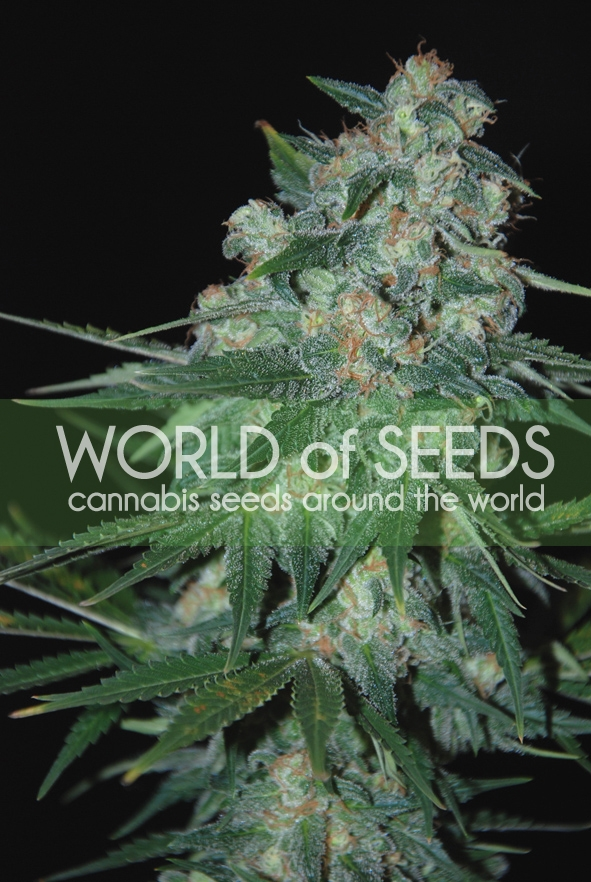 Ketama Regular Seeds