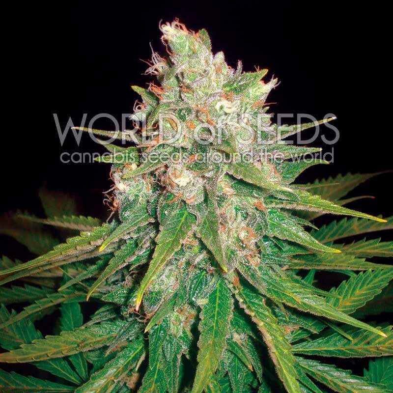 Mazar x Great White Shark Feminised Seeds