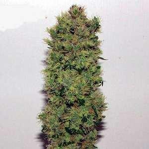 Mr Nice Skunk Haze Regular Seeds - 18