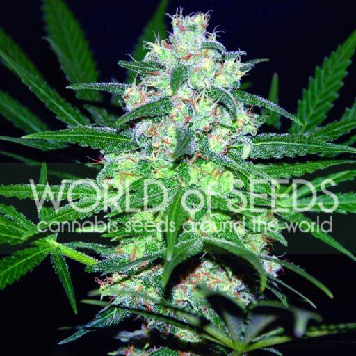 Pakistan Valley Regular Seeds