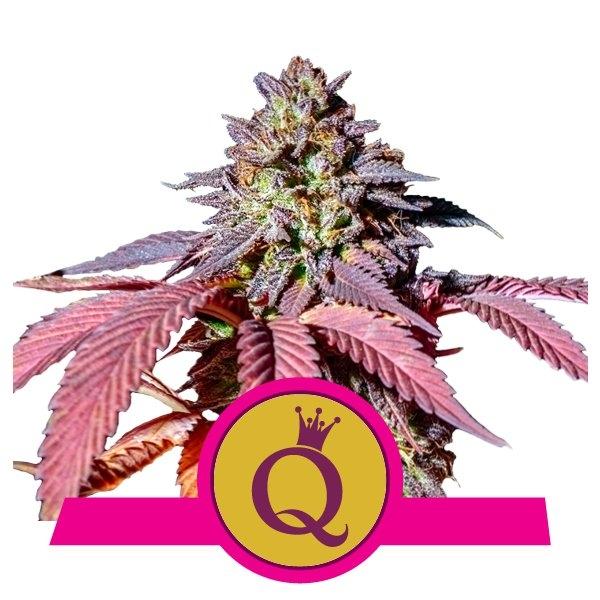 Purple Queen Feminizovaná