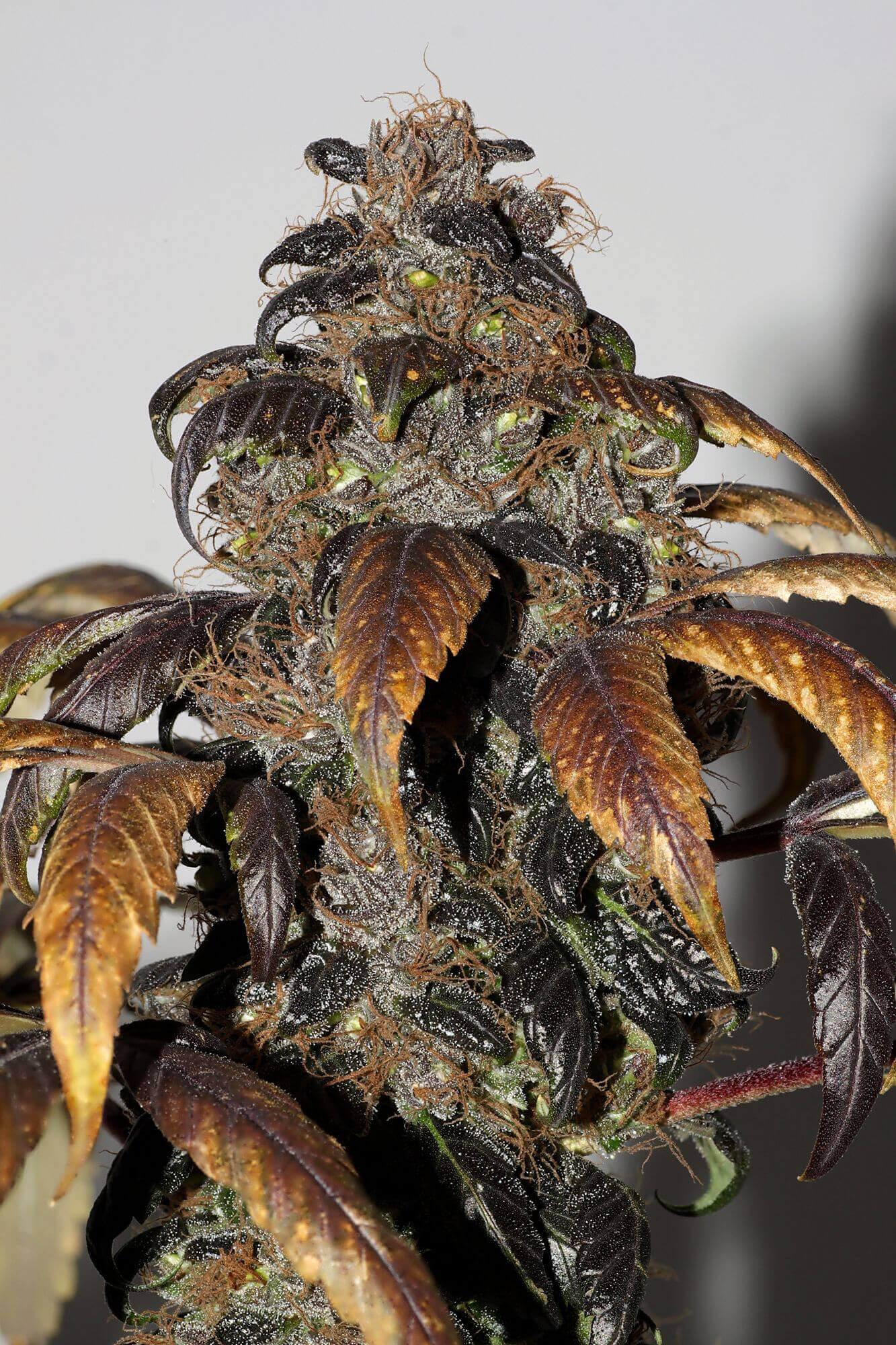 Purple Bud Regulérní