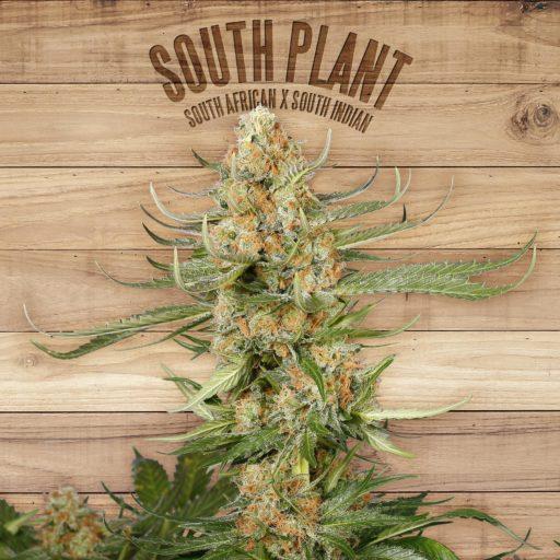 South Plant Feminizovaná