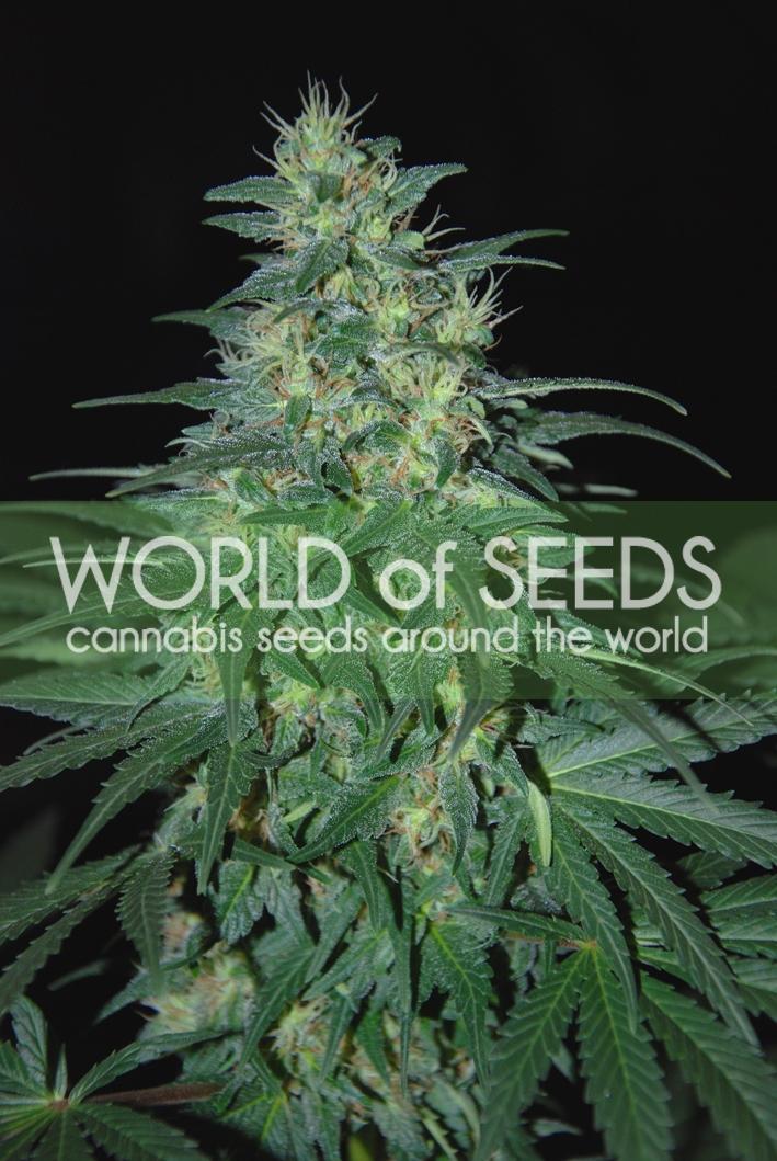 S. Africa Kwazulu Regular Seeds