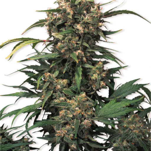 strawberry_cough_feminised_seeds