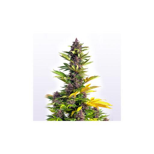 buddha-purple-kush-non-autoflowering_2_