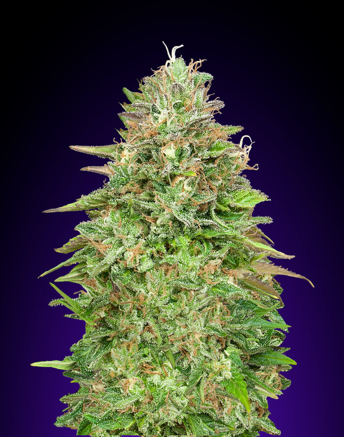 critical-poison-fast-00-seeds_1