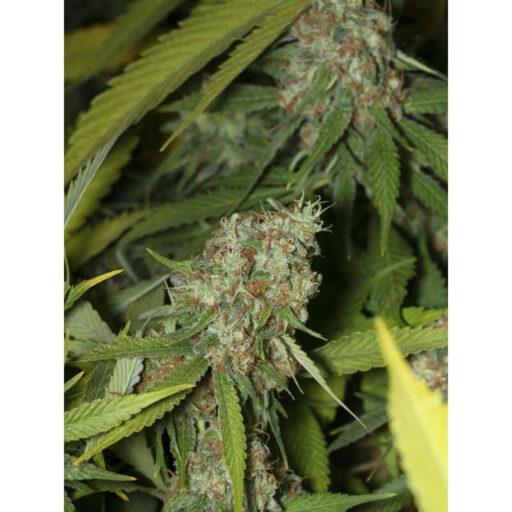 jamaican-dream-cbd-2