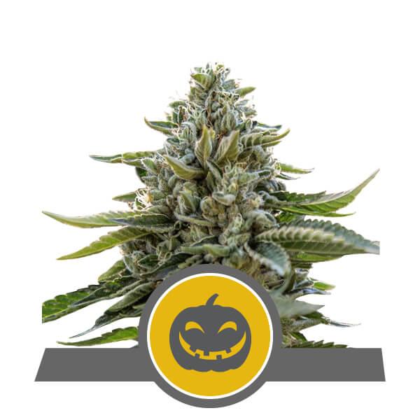 Pumpkin Kush Regulérní