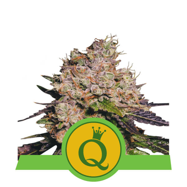 Purple Queen Auto Feminizovaná