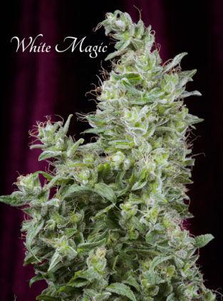 white_magic