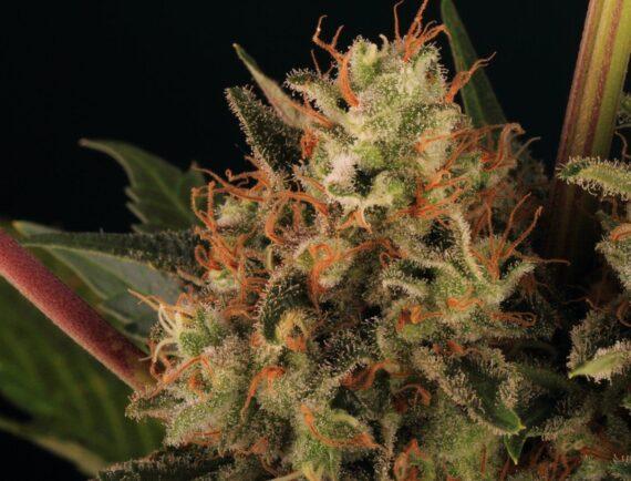 Growreport: Strawberry Lemonade