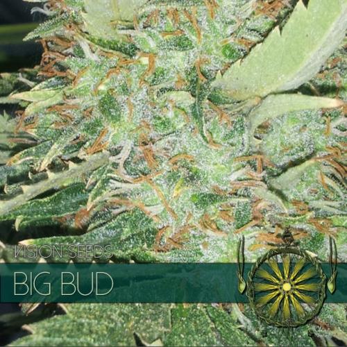 Big Bud Feminizovaná