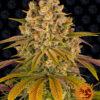 Lemon Tree Feminizovaná-1 Seed