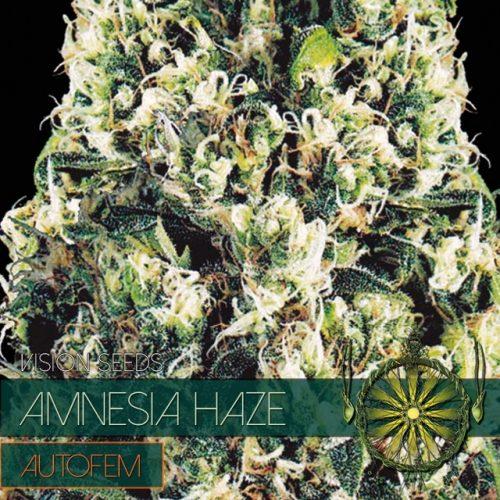 Amnesia Haze Auto Feminizovaná